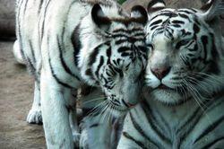 belie_tigri