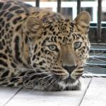 fellliny-leopard-01