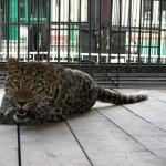 fellliny-leopard-02