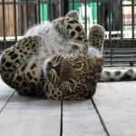 fellliny-leopard-03
