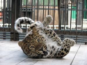 fellliny-leopard-04