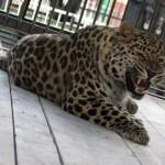fellliny-leopard-05
