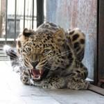 fellliny-leopard-06