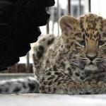 1294512326kotyonok-dalnevostochnogo-leoparda-1