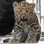 1294512326kotyonok-dalnevostochnogo-leoparda