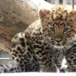 1294512326kotyonok-dalnevostochnogo-leoparda-2