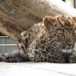 1294512326kotyonok-dalnevostochnogo-leoparda-3