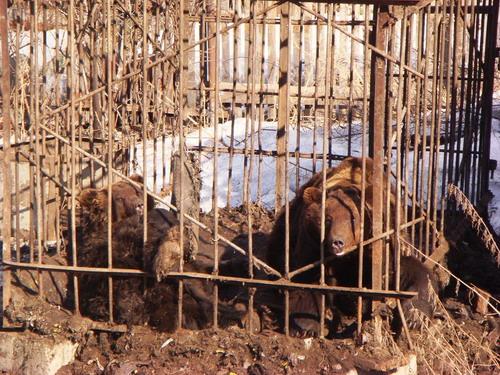 Медведей увезти в Москву